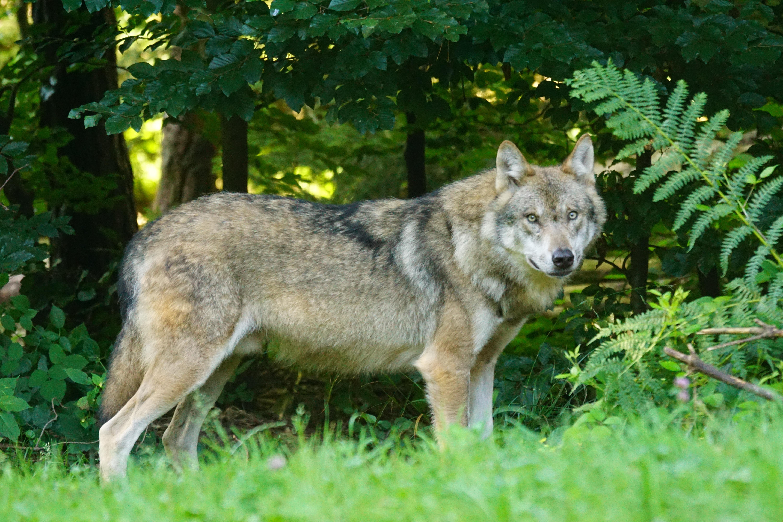 Tierpark Bad Mergentheim - Wolfsrudel
